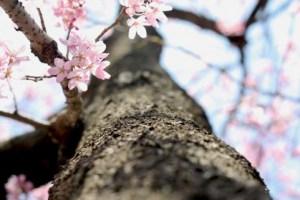 桜のイメージ図
