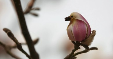 मैगनोलिया का फूल