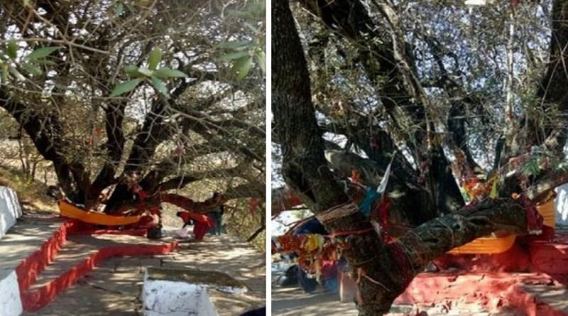 अल्मोड़ा में जिला मुख्यालय से 8 किलोमीटर दूर स्थित छानी गांव में एक ऐसा पेड़ है जो लोगों की आस्था का केंद्र हजारों सालों से बना हुआ है।