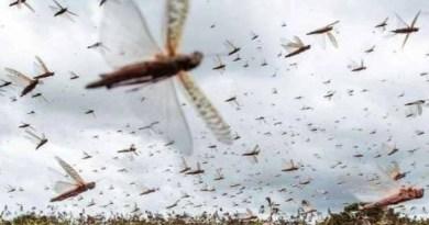 देश के कई राज्यों में टिड्डयों ने आतंक मचा रखा है। किसानों की फसलें बर्बाद कर रहे हैं। इन टिड्डियों पर काबू पाना प्रशासन के लिए एक चुनौती भरा काम हो गया है।