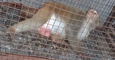 उत्तराखंड के राजभवन में दो साल से आतंक मचाने वाले बंदरों के लीडर को आखिरकार पकड़ लिया गया है।