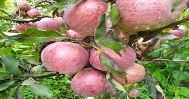 उत्तरकाशी में सेब की खेती करने वाले किसानों के सपने पूरे होते दिखाई दे रहे हैं। यहां के सेब को धीरे-धीरे एक खास पहचान मिलनी शुरू हो गई है।