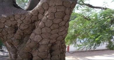 काशीपुर की एक डेयरी में गोबर की लकड़ी तैयार की जा रही है। इससे ना केवल लकड़ी के लिए पेड़ों की कटान कम होगी, बल्कि धुआं कम होने से पर्यावरण के लिए भी यह कम नुकसानदेह है।