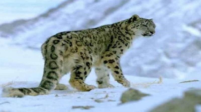 ऊंचे पहाड़ी इलाकों में हिम तेंदुओं की सुरक्षा को लेकर प्रशासन संजीदा है। स्नो लेपर्ड को बचाने और उनकी निगरानी के लिए रुद्रप्रयाग वन प्रभाग के उत्तरी जखोली क्षेत्र में आठ सोलर कैमरा ट्रैप लगाए गए हैं।