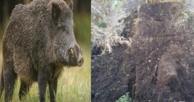 चंपावत के इस गांव में सूअरों का आतंक, वन विभाग के रवैये पर उठे सवाल