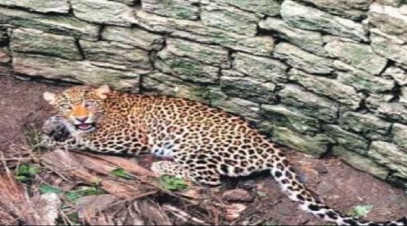 चंपावत के टनकपुर छीनीगोठ के जंगल में हुई गुलदार की मौत की असल वजह का पता चल गया है। पोस्टमार्टम रिपोर्ट के मुताबिक तेंदुए की कमर में गहराई तक फंदा धसने से उसकी मौत हुई है।