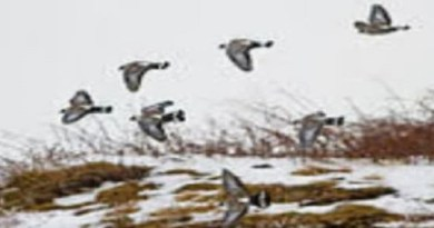 चमोली में नए मेहमानों ने दस्तक दी है। ठंड बढ़ने के साथ ही केदारनाथ अभ्यारण में प्रवासी पक्षियों का आगमन शुरू हो गया है।