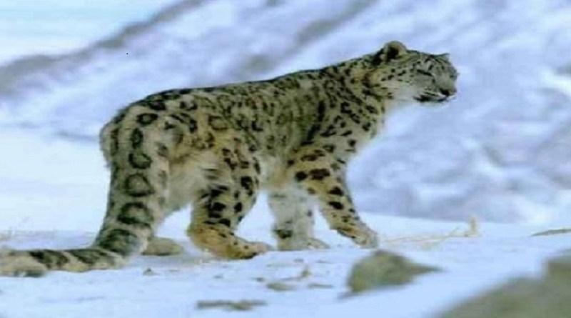उत्तराखंड के अलग-अलग राष्ट्रीय पार्कों में उच्च हिमालयी क्षेत्रों के सबसे दुर्लभ वन्य जीव स्नो लेपर्ड की गिनती जारी है।