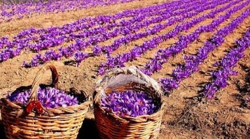 उत्तराखंड में केसर की खेती को बढ़ावा देने की कोशिशें रंग लाने लगी हैं। अल्मोड़ा के जीबी पंत पर्यावरण और सतत विकास संस्थान के टेस्ट में केसर के चौंकाने वाले नतीजे सामने आए हैं।