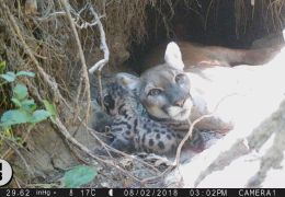 Another Mountain Lion Collared, Saved by Living with Lions