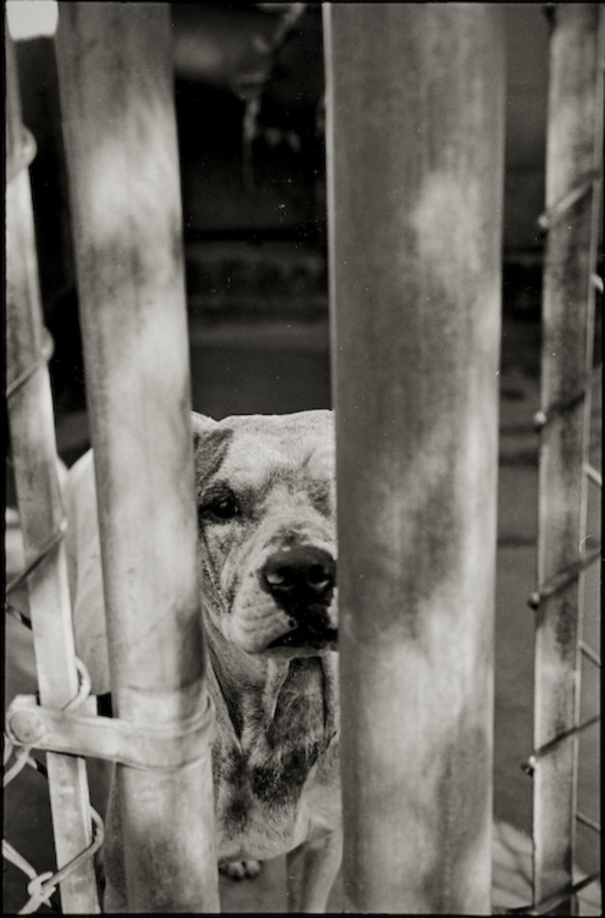 A pitt bull type dog in the New York Ave Animal shelter.