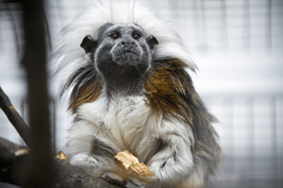 Cotton-top tamarins grew calmer after they heard music compositions based on their own calm, friendly calls. But the monkeys became more agitated when University of Wisconsin-Madison psychology professor Charles Snowdon played music that contained elements of their own threatening or fearful calls. ?UW-Madison University Communications 608/262-0067 Photo by: Bryce Richter Date:  02/08    File#:  NIKON D3 digital frame