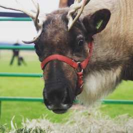 The reindeer Santa uses to pull his sleigh are discovered to be female, since the male's horns fall off before Christmas time, when a female's horn fall off in February.