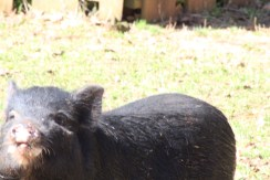 Vietnamese pot belly pig watching over its young.