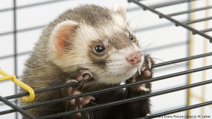 A ferret in a cage
