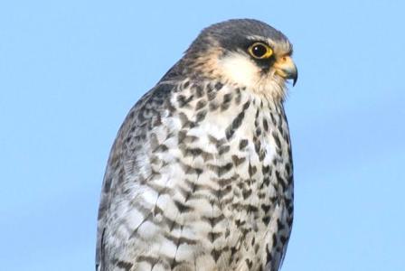 लोणावळा, खोपोलीतील पाणथळ जागी काही काळ विसवलेले Amur Falcon च्या छायाचित्रीकरणावर टाटा व वन विभागाने बंदी घातली आहे.