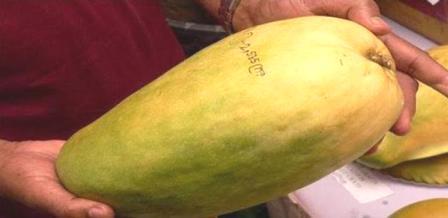 500 ते हजार रुपयांना एक इतका महाग आंबा आश्चर्य वाटला नां ? पण हे खरं आहे. हा आंबा आहे मध्य प्रदेशातील 'नुरजहाँ'(Noorjahan Mango)आंबा.