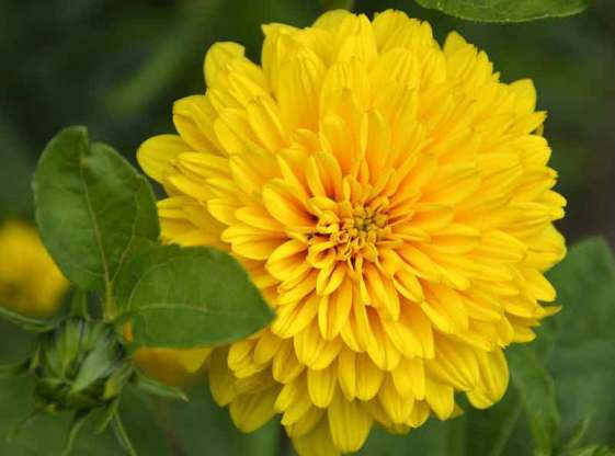 bunga-dahlia