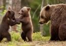 Bărbatul ucis de o ursoaică în Harghita era băut și a aruncat cu obiecte în bârlog