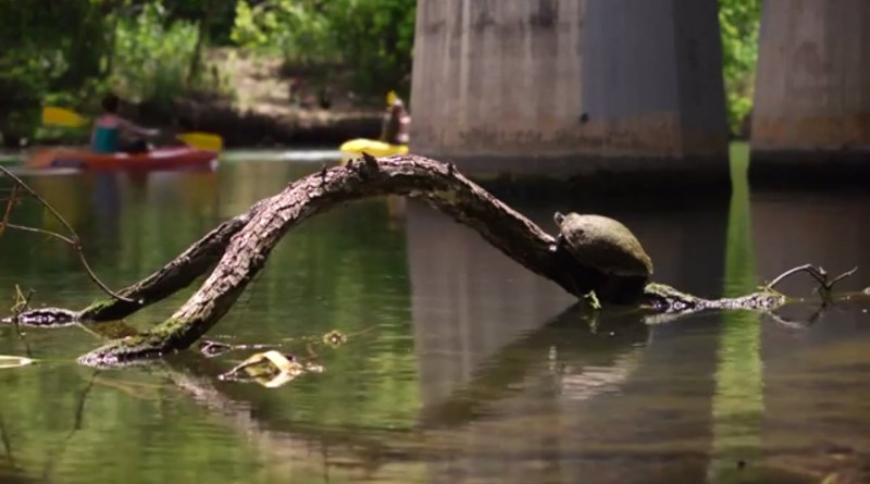 (Image) Edwards Aquifer Authority, water flowing, river, turtle sunning on tree limb in water
