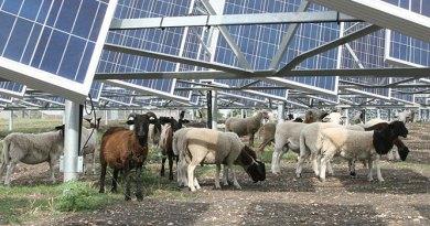 (Image) sheep grazing in solar farm