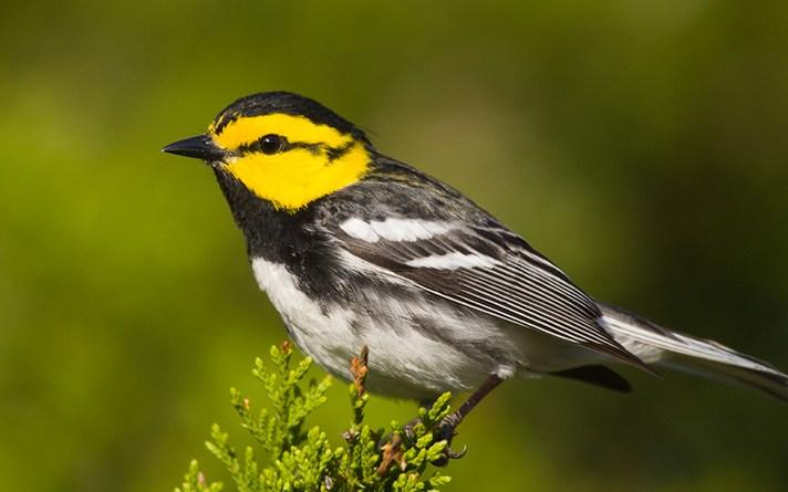 (Image) Golden-cheeked Warbler