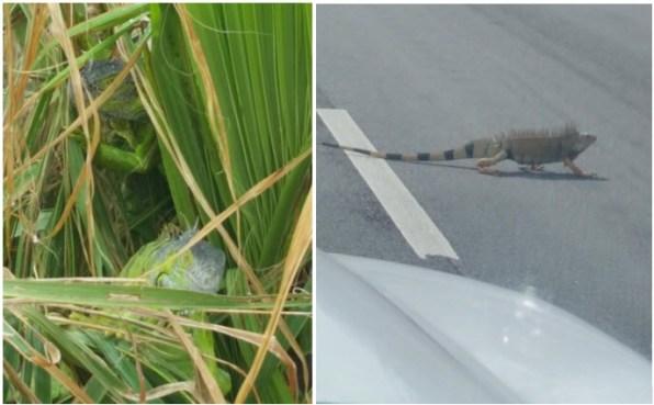 Keys iguanas