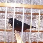 Man caught trying to smuggle singing birds through airport