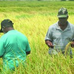 Rice exports see 6% increase even with weak prices  -Govt.