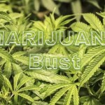 Police destroy two acres of marijuana field on Essequibo Coast