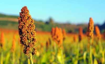 sorghum crop - Nigeria is second world's leading producer of Sorghum