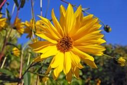 jerusalem artichoke flower ..