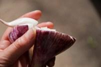 garlic ready for harvest_0002