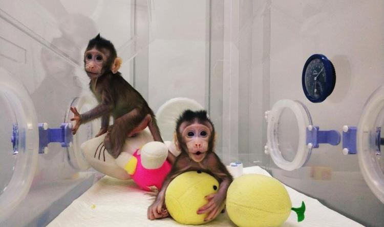 Scientists clone monkeys, raising excitement and concern 8