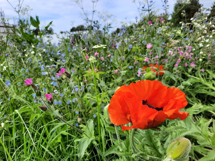 Cullerne wild flowers
