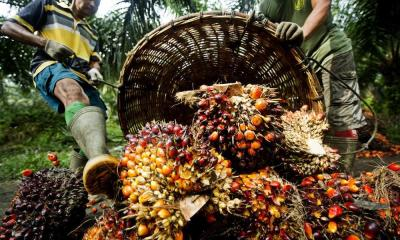 Nigeria to benefit huge forex from palm oil — NPPAN