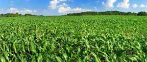 Iowa Corn Farmers Fume at Trump for Backing Oil Refineries Instead of Them