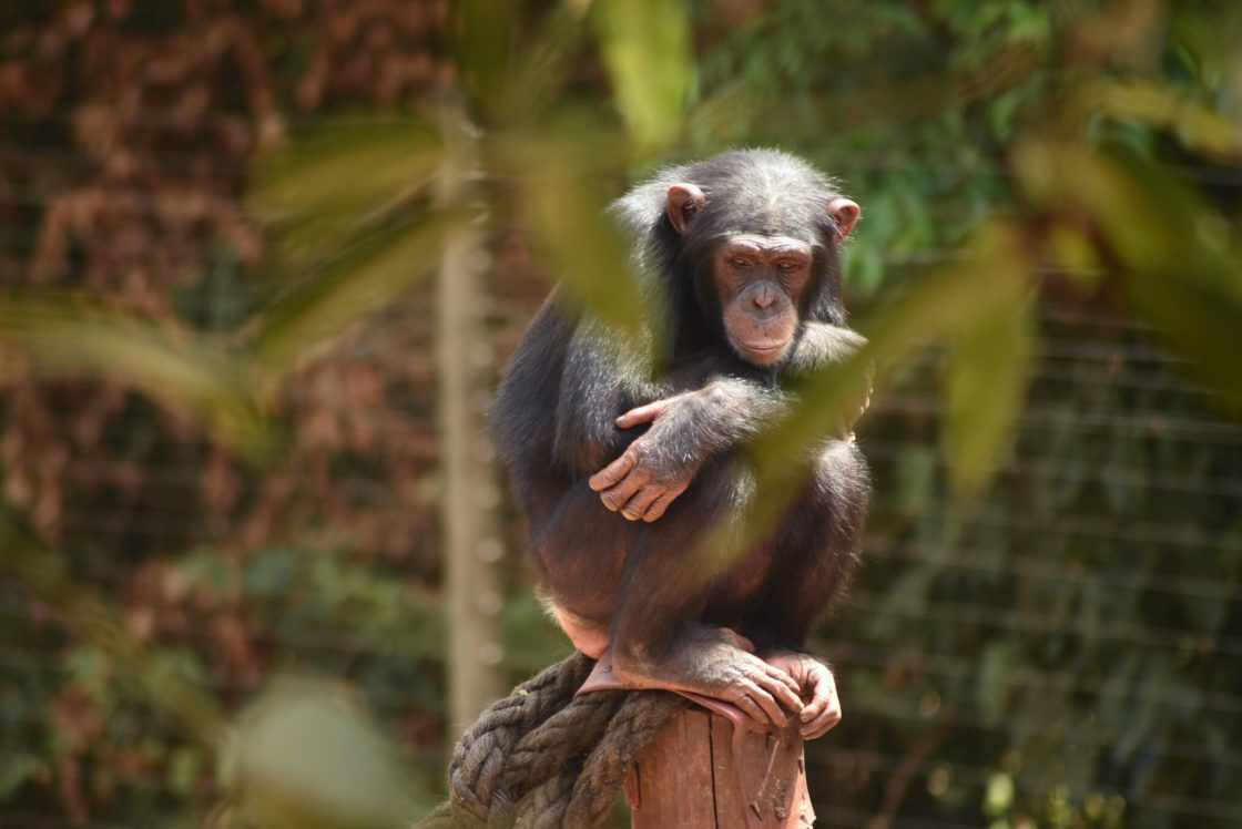 UW researchers report on chimpanzee-killing disease, raising concerns about jump to humans