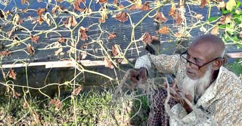 ছাতকে পূর্বশত্রুতায় অসহায় কৃষকের সবজি গাছের চারা কর্তন