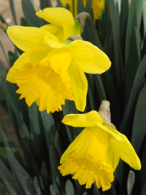 Reno, spring, daffodils, flowers, Nevada, NV