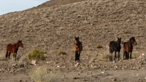 wild horses, Virginia Range mountains on the east side of Reno, Nevada, NV