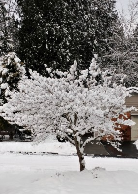 Dogwood in snow (2)