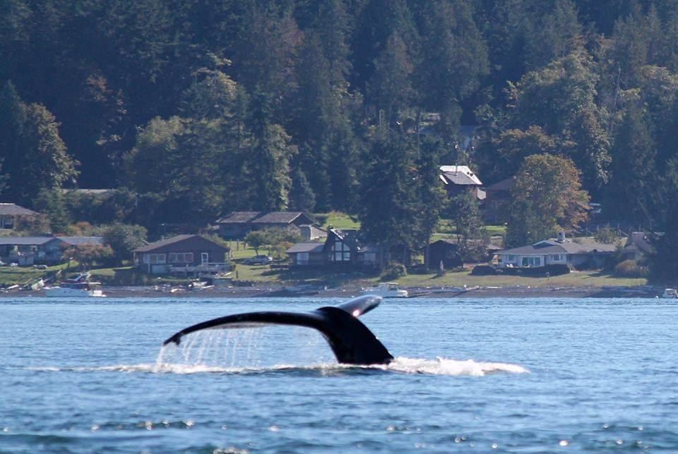 New Westminster Whale Watching Adventure Giveaway White Rock Sea Tours