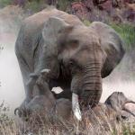 Слонам и носорогам выпишут наркотики по рецепту
