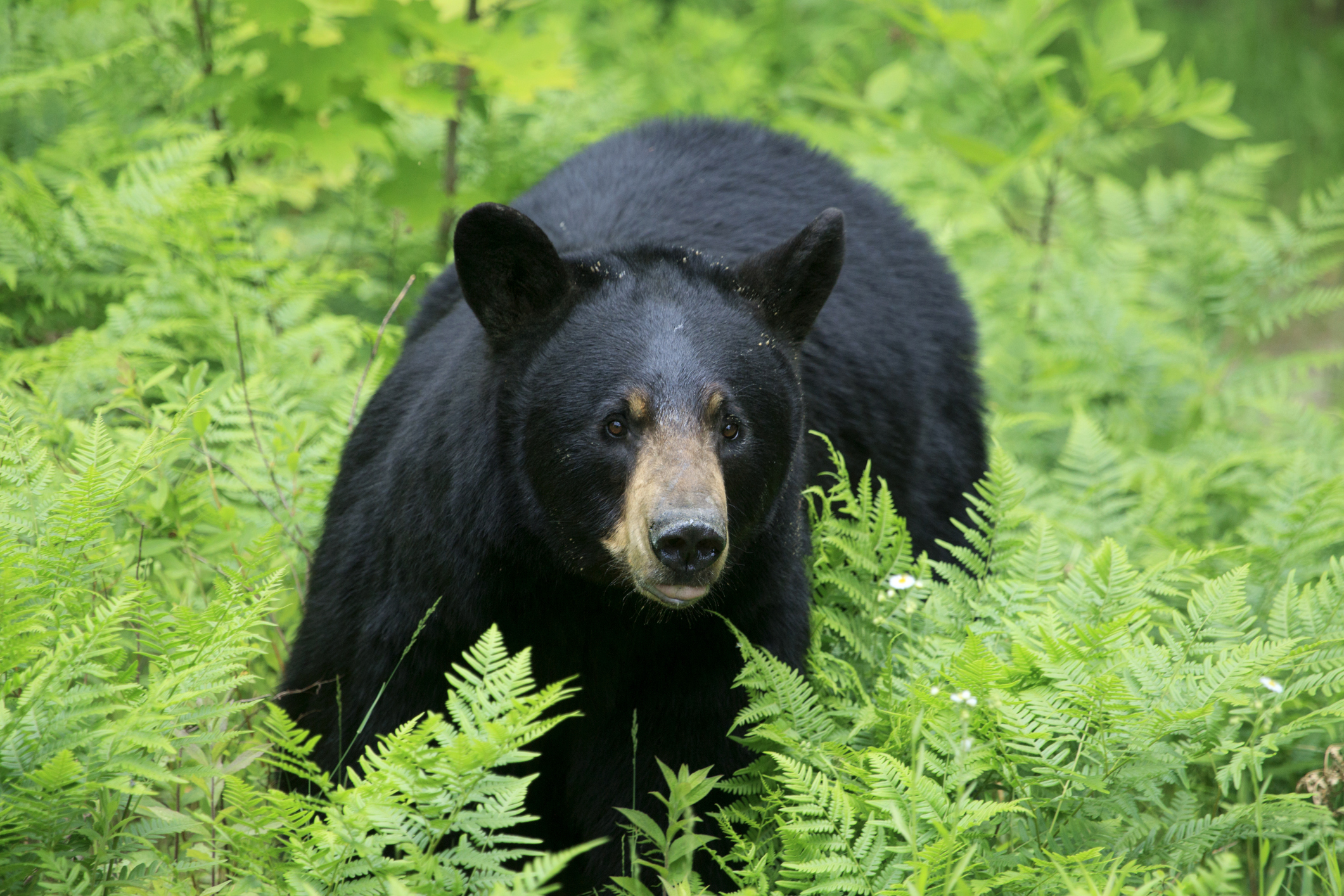 New Jersey's Black Bear Hunt Gets Underway For Archers