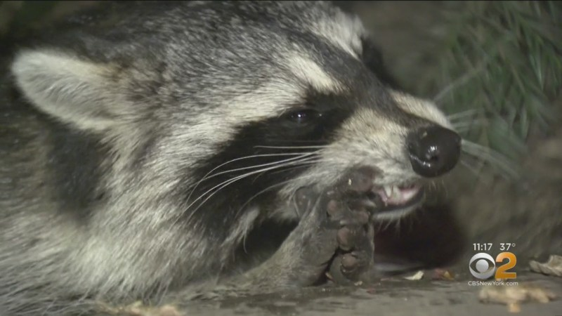 Rabies Alert In Port Chester After Rabid Raccoon Attacks 3