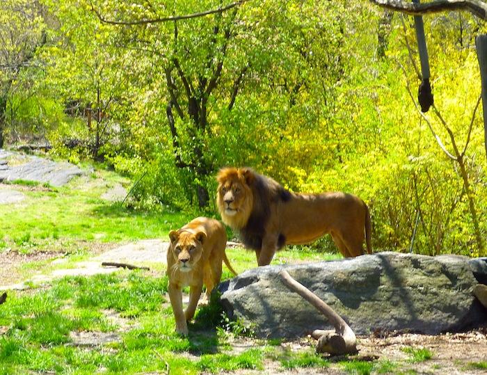 bronx zoo lions