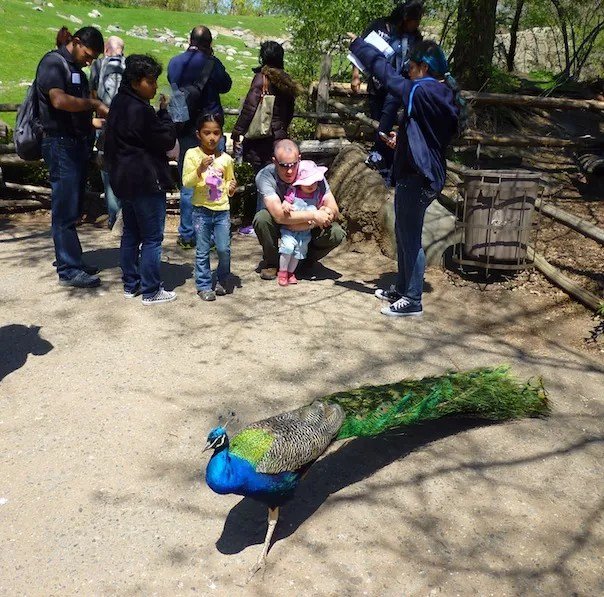 peacock bronx zoo