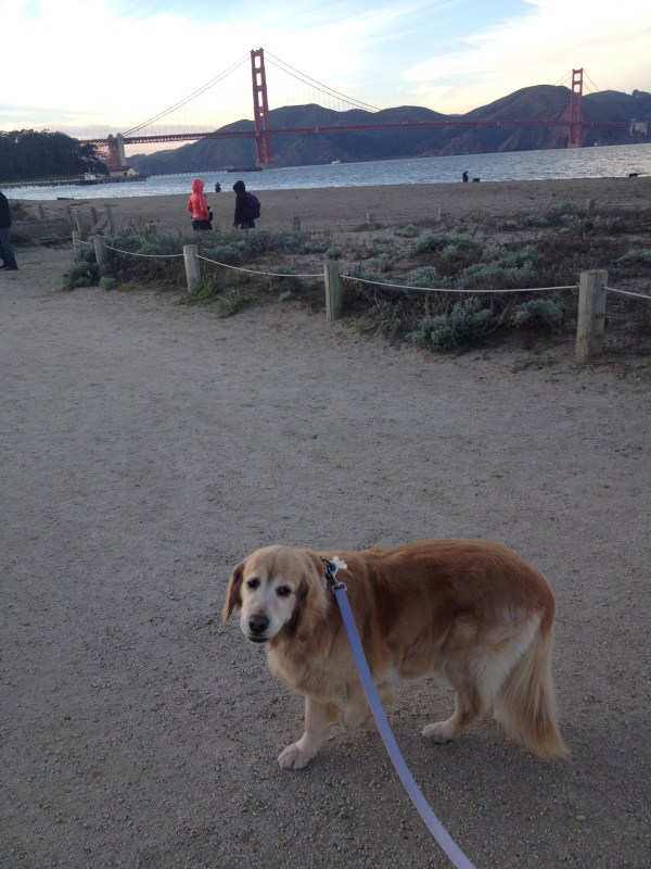 golden-gate-golden-retriever