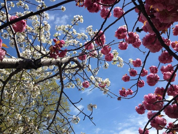 cherry-blossoms-blue-sky